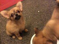 Beautiful Long Coat Chihuahua Puppies