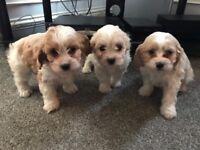 Cavachon f1 puppies