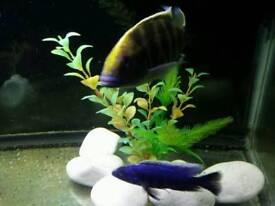 Venustus and Electric Blue Cichlid Fish