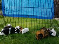 3 male baby guinea pigs
