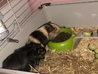 Two young male guinea pigs with indoor cage, food & hay