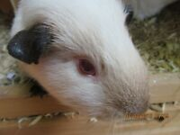 GUINEA PIGS LOOKING FOR LOVING FABULOUS PET HOME TWO STUNNING BOYS