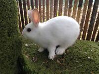 8 week old bunny rabbit.