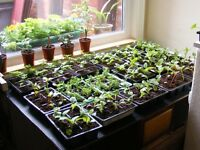 trays of asstd plants for sale NEW PRICE 1 POUND 25P A TRAY.