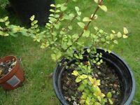 Plants for sale-Lonicera Nitida `Baggesens Gold' in a 15 cm pot