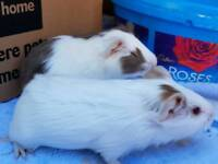 Gorgeous girl guinea pig baby's