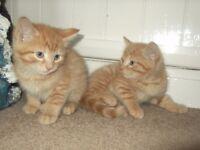 Ginger kittens and Black