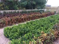 Bare Root Hedging Thorn,Blackthorn,Green,Purple Beech,Hornbeam,Field Maple,Hazle,Sorbus and Box