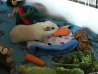 Two male pure bred Rex Guinea Pigs with 2x4 C&C Cage and 2x1 loft