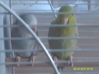 2 parrotlets wiv cage