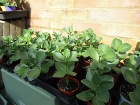 Sturdy Broad Bean plants (Aquadulce) individual pots ready for planting BARGAIN 25p each/10 for £2