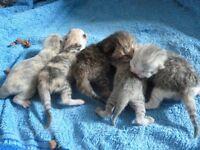 British short haired kittens one left