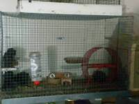 15 Degus and 2 cages
