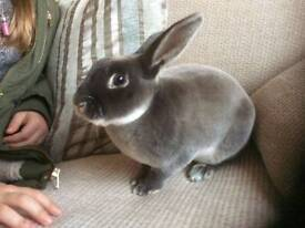 Male rabbit 6 months old