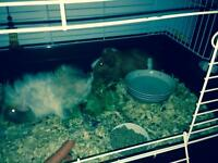 2 guinee pigs and cage for sale