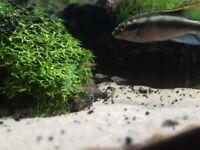 Kribensis Kribs Tropical Fish