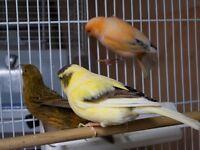 3 x canaries , 4 x zebra finches