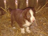 puppy brown and white pup has lovely temperment