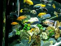 330 litre complete malawi fish tank set uo
