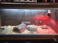 3 yr old horsefield tortoise & set up