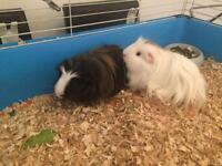 2 male sibling guinea pigs