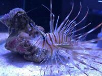 Lion Fish Marine salt water tropical fish Tank aquaruims