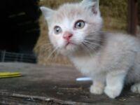 1 gorgeous female oatmeal kitten