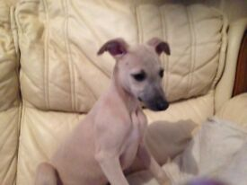 Whippet pups