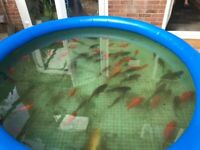 Pond fish for free