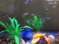 Community fish Kribensis
