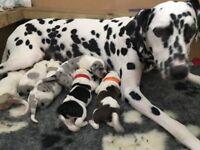 Dalmatian X Collie Puppies