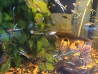 Endler Guppy (guppies) 50 for £10!