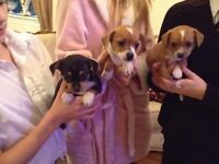 Jack Russell x chihuahua pups