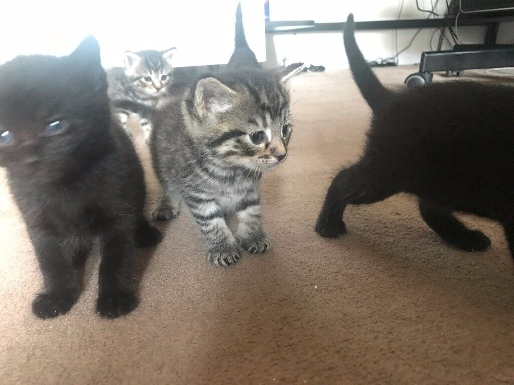 5 Kittens ready to leave on 21st October