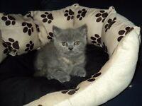 female british shorthair blue kitten
