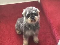 Schnauzer miniature bitch 4 yr old , lovely temperament , very quiet , non barker , good home only