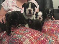 French bulldog x Boston terrier pups