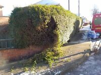 hedge cutting over grown garden conifer shrubbery cutting mickey muddy boots