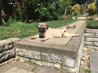 Beautiful Pug Boy - Cream - 4 months old -