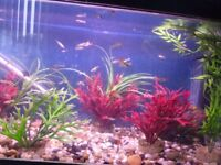 TROPICAL FISH GUPPYS MALES AND FEMALES