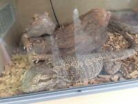Bearded dragons and vivarium for sale