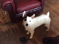 3yr old Jack Russell for sale