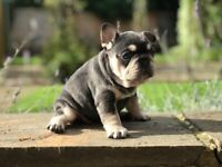 Amazing Litter Of Blue Tan Cream French Bulldogs