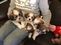 Lhasa apso pups for sale ready now