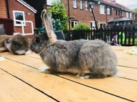 3 Lion head Rabbits with cage