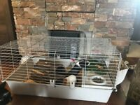 Guinea pigs two Male plus cage accessory