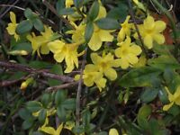 Pots of winter Jasmine plants from £2.50 to £5.50