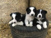 Collie puppies *SOLD*