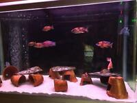 Malawi Cichlids - Tropical Fish
