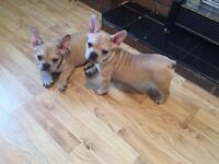 Stunning French Bulldog puppy's KC Registered